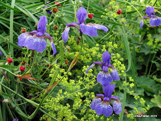 Blå strandiris Iris sibirica