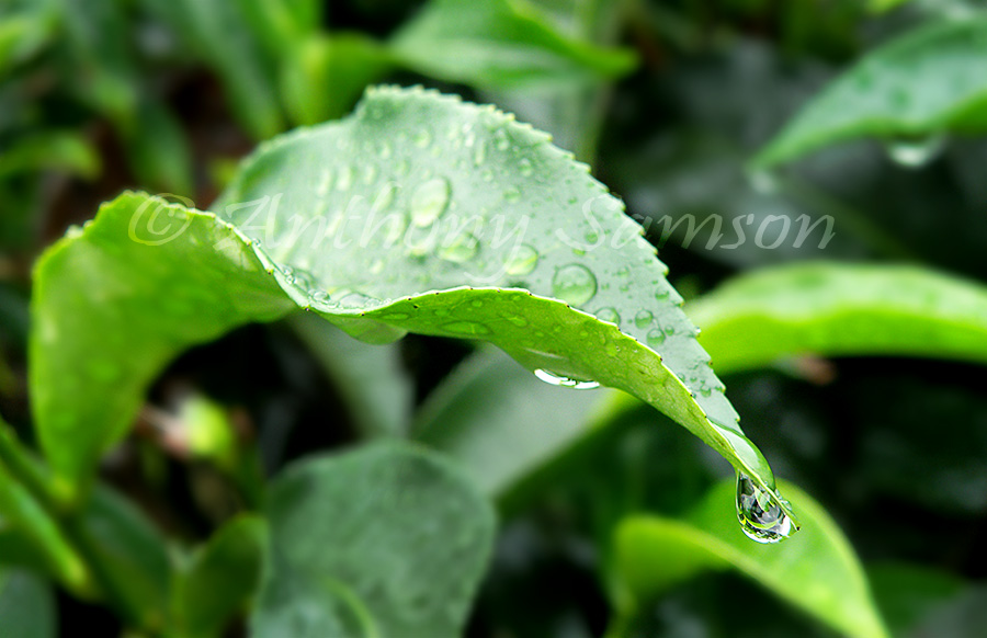 Tea leaf with dew drop