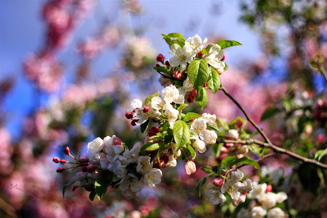 apple blossoms and pink cherry in the background