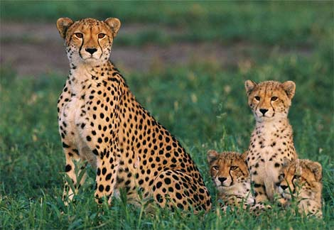 external image cheetah-cubs.jpg