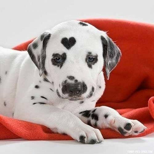 Dalmatian with a perfect heart mark on head image