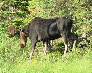 Bull Moose in Northern Ontario Canada