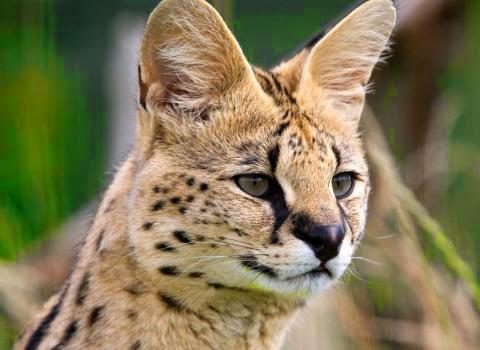 Serval Cat