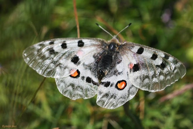 PARNASSIUS APOLLO