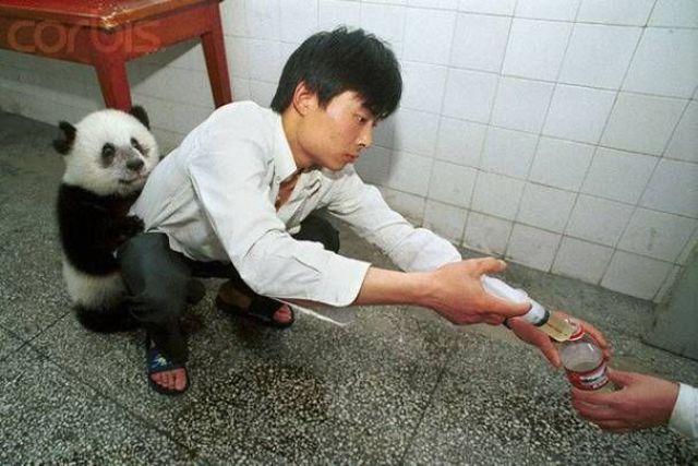 Filhote de panda agarrado no homem