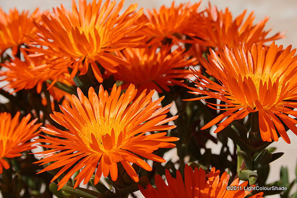 Orange ice plant Lampranthus aureus inflorescence