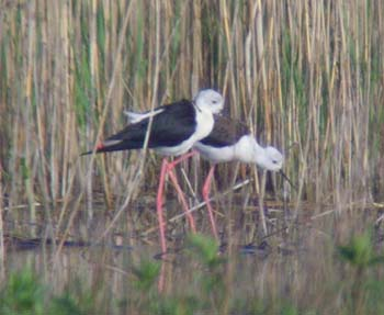 BLACK WINGED STILT-NEUMANN'S FLASH-25TH APRIL 2008