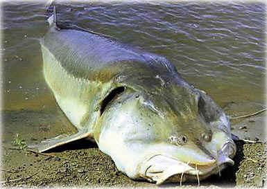 Big Fishes of the World: STURGEON KALUGA (Huso dauricus)