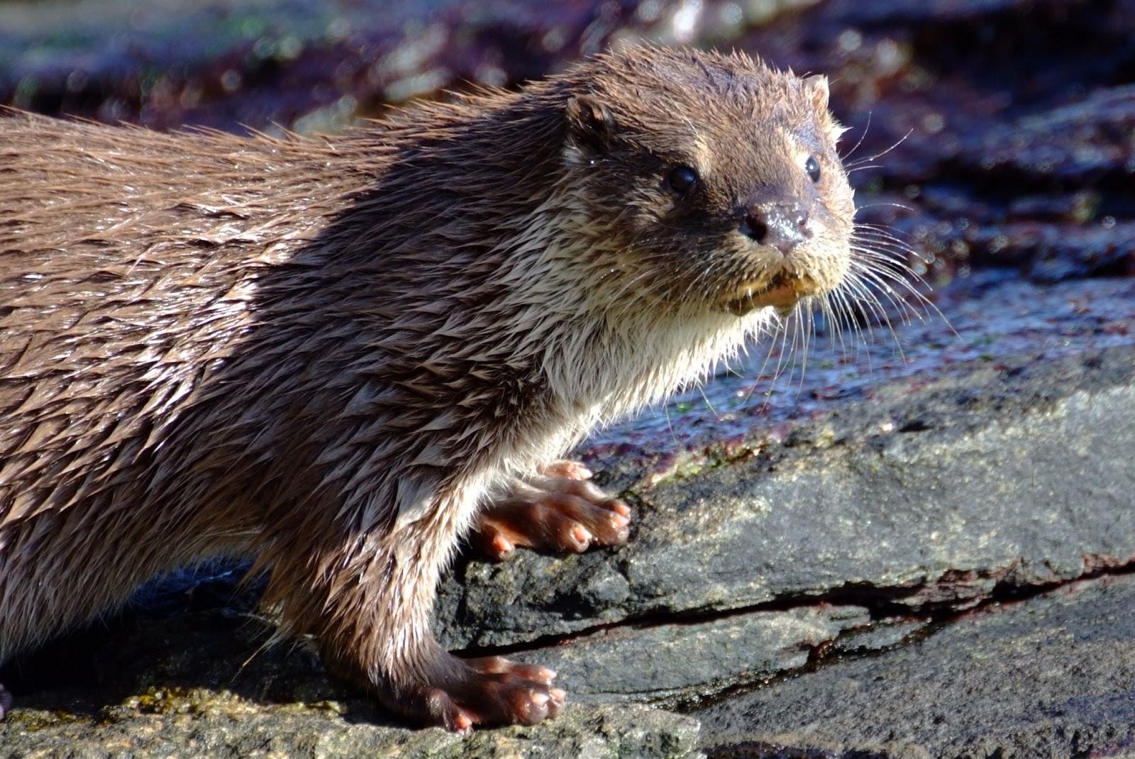 Otter tracks