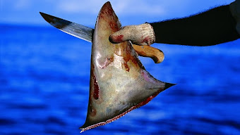 """- """"Se están pescando cien millones de tiburones al año"""" por sus aletas."""