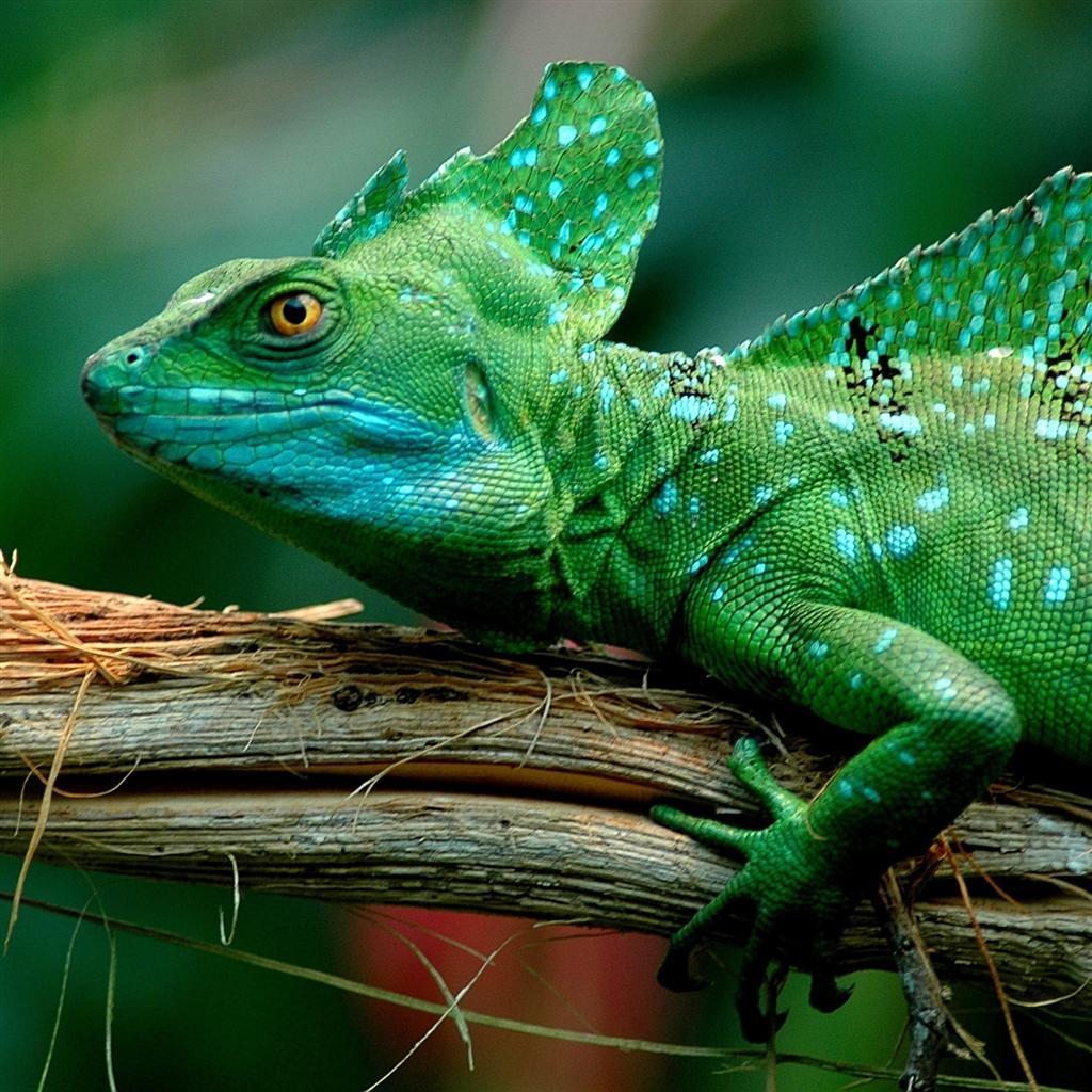 http://2.bp.blogspot.com/-OS_HKiYxC5A/UIHG6GKPPsI/AAAAAAAAI-Y/S6feMcFTutM/s1600/basilisk-lizard-the-new-ipad-wallpaper.jpg