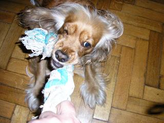 εκπαίδευση σκύλων με παιχνίδια - τράβα 3
