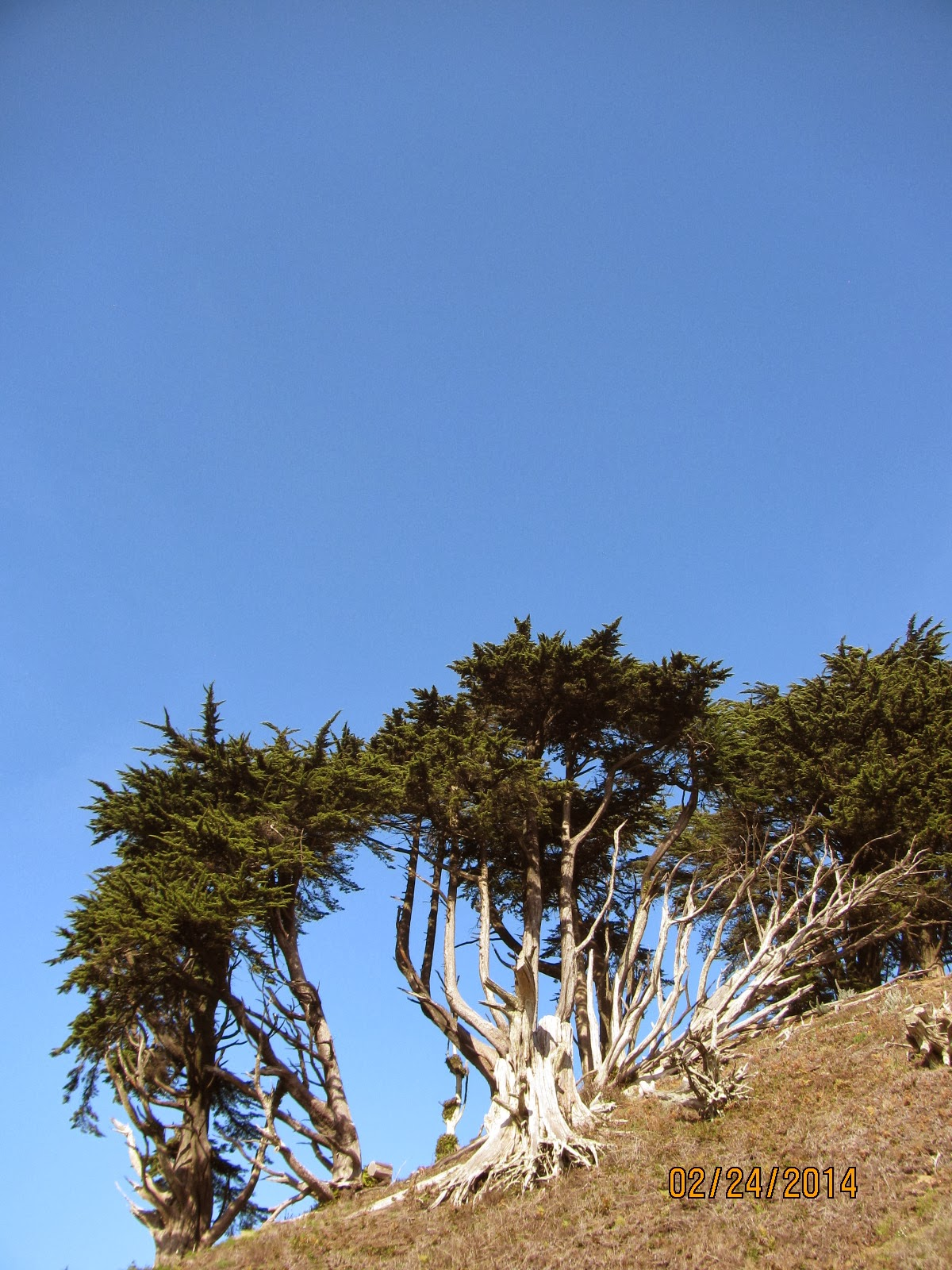 Grand View Park- Monterey Cypress Trees