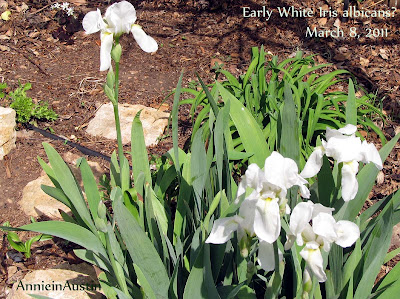 Annieinaustin White Iris albicans