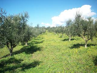 Ανοδικές τιμές για το ελαιόλαδο στην Μεσόγειο