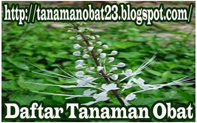 Tanaman Obat Mamang Besar  (Cleome spinosa L.)