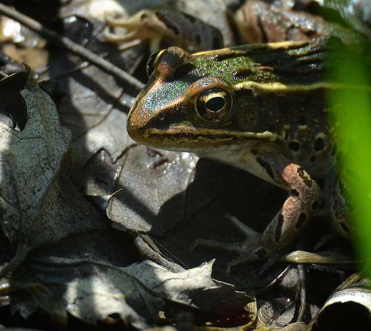 Close up of a A Northern Leopard Frog's face...