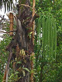 Pohon Enau atau Pohon Aren