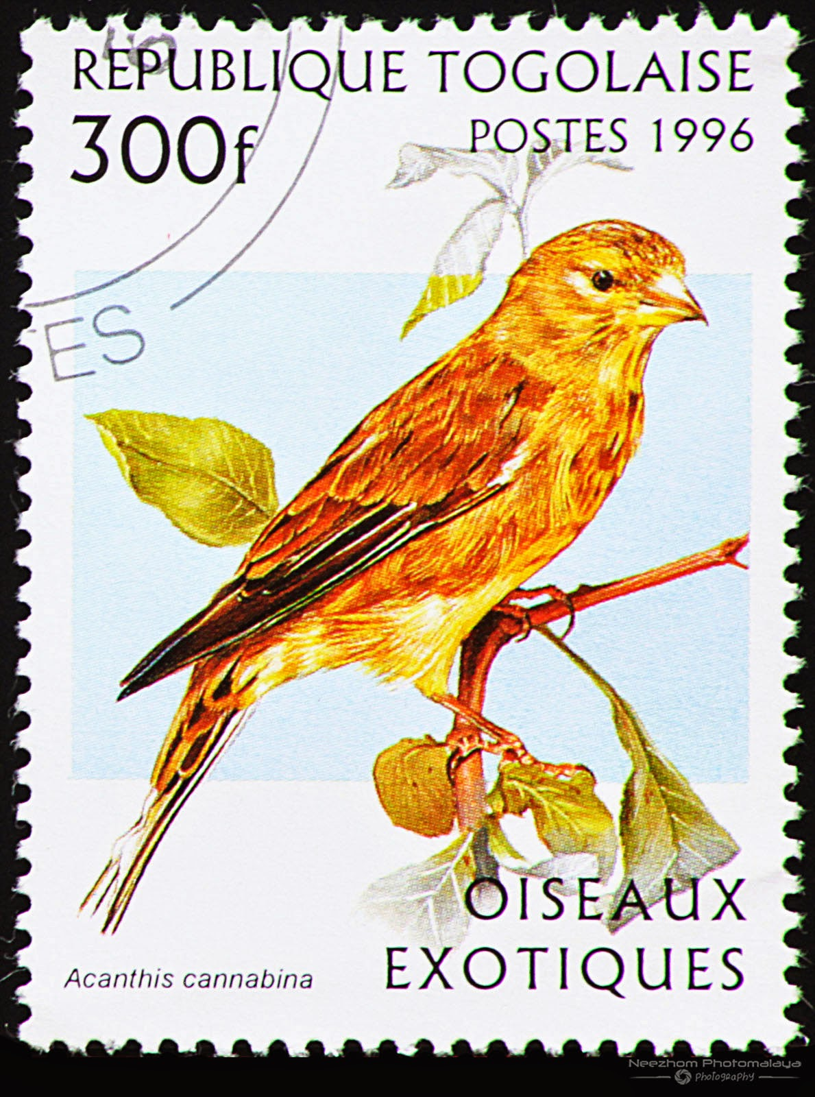 Togo 1996 Exotic Birds stamp - Linnet (Acanthis cannabina) 300 f