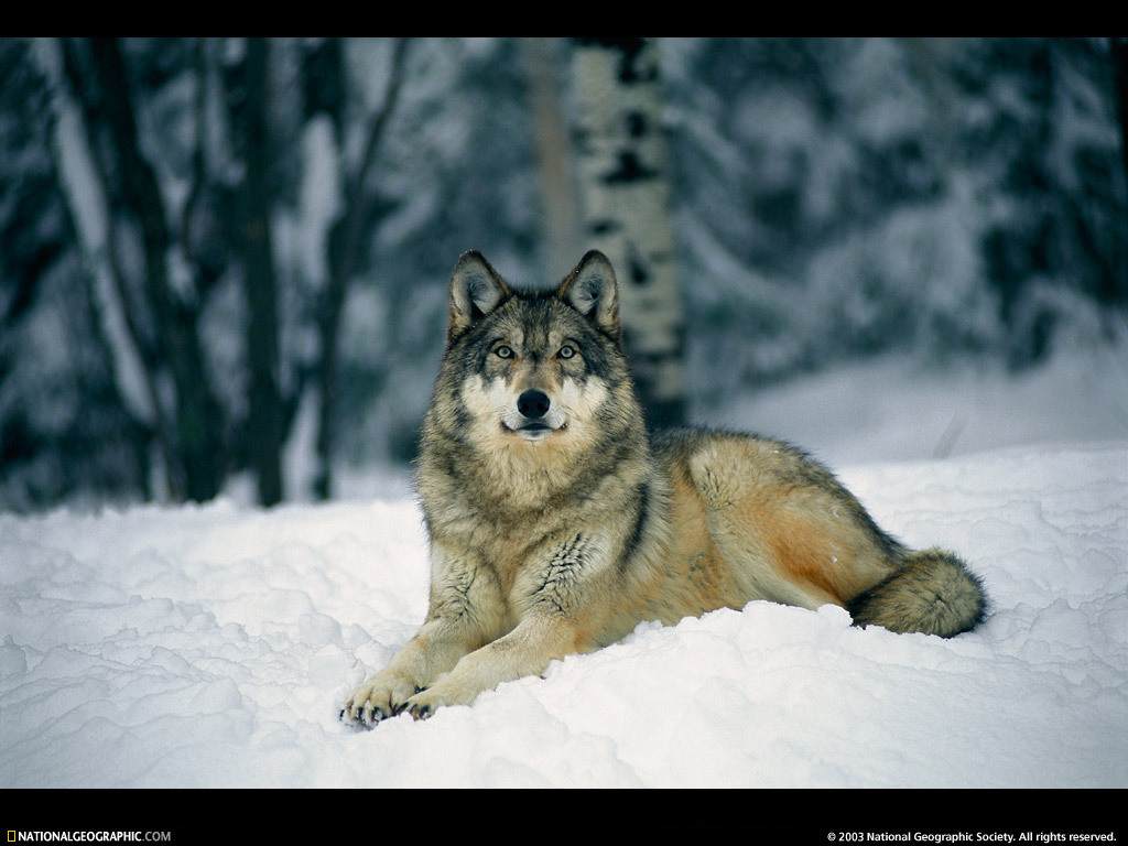 the nature of wolves The red wolf is a smaller, thinner cousin of the gray wolf it is gray-black in color, but has a distinctive reddish cast for which it is named red wolves might weigh up to about 80 pounds, while .