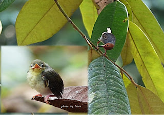Red-Headed Tailorbird