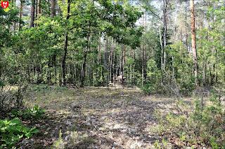 Леса в Могильно. Охотничьи засидки