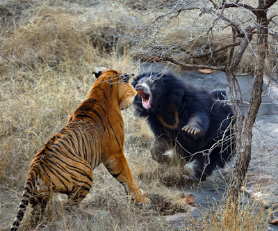 Sabertooth Tiger vs Bear http://antediluviansalad.blogspot.com/2012/06/of-notches-tarchia-and-sloth-bears.html