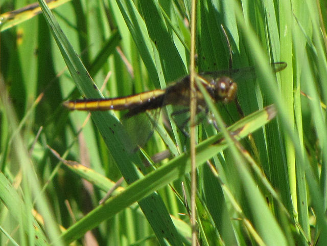 spangled skimmer