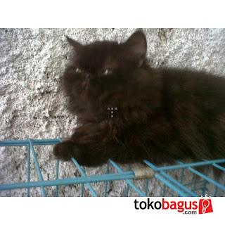 Kunjungi Kami Menjual Quot Kucing Persia Quot Terbagus