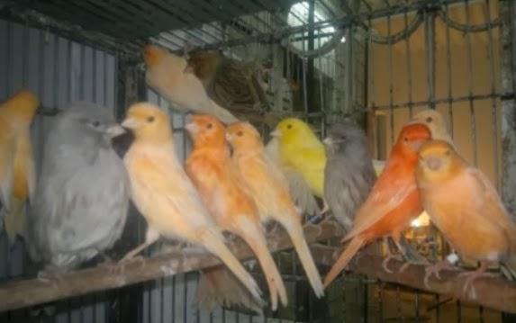 tips merawat burung kenari muda agar cepat gacor gembala