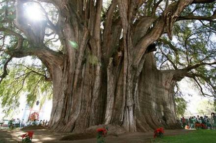 Oldest Tree of the World