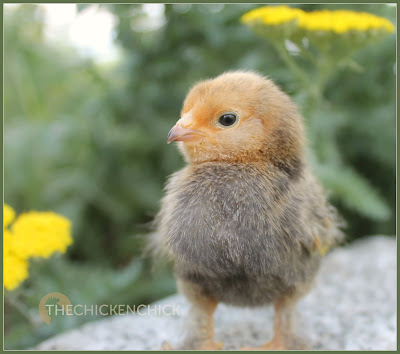 One of my newest peeps, a Mille fleur d'Uccle chick via Valley Hatchery.