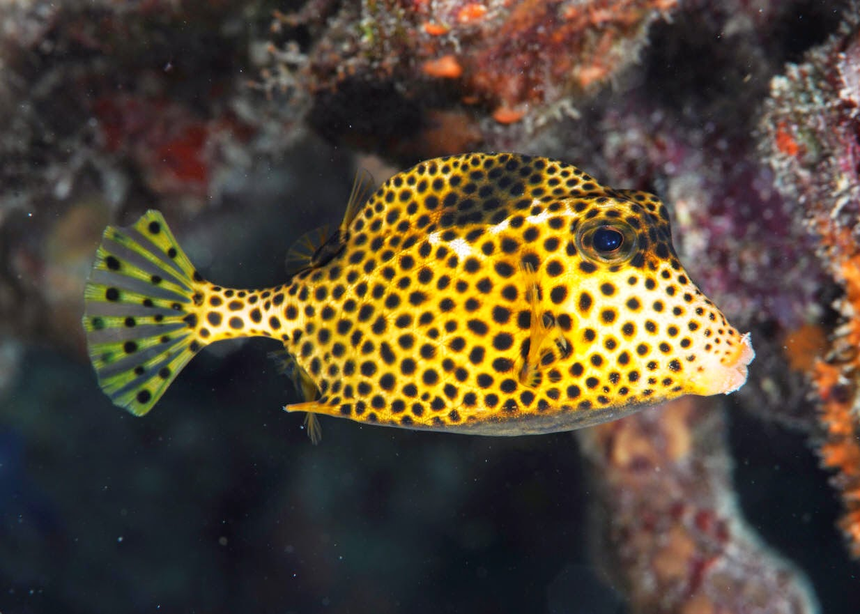 The Spotted Trunkfish Fun Animals Wiki Videos Pictures