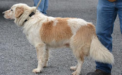 12/23/11 Butterball Great Pyrenees/Golden Retriever Mix: An adoptable dog in Warren, OH -Trumbull