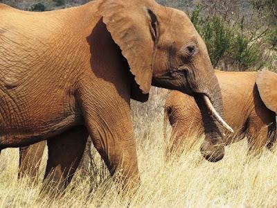 elefante, elefant africa, elefante africa, parc narural amboseli, parque natural amboseli, amboseli, Kenya