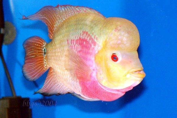 Nothing is everything flower horn for Flower horn fish