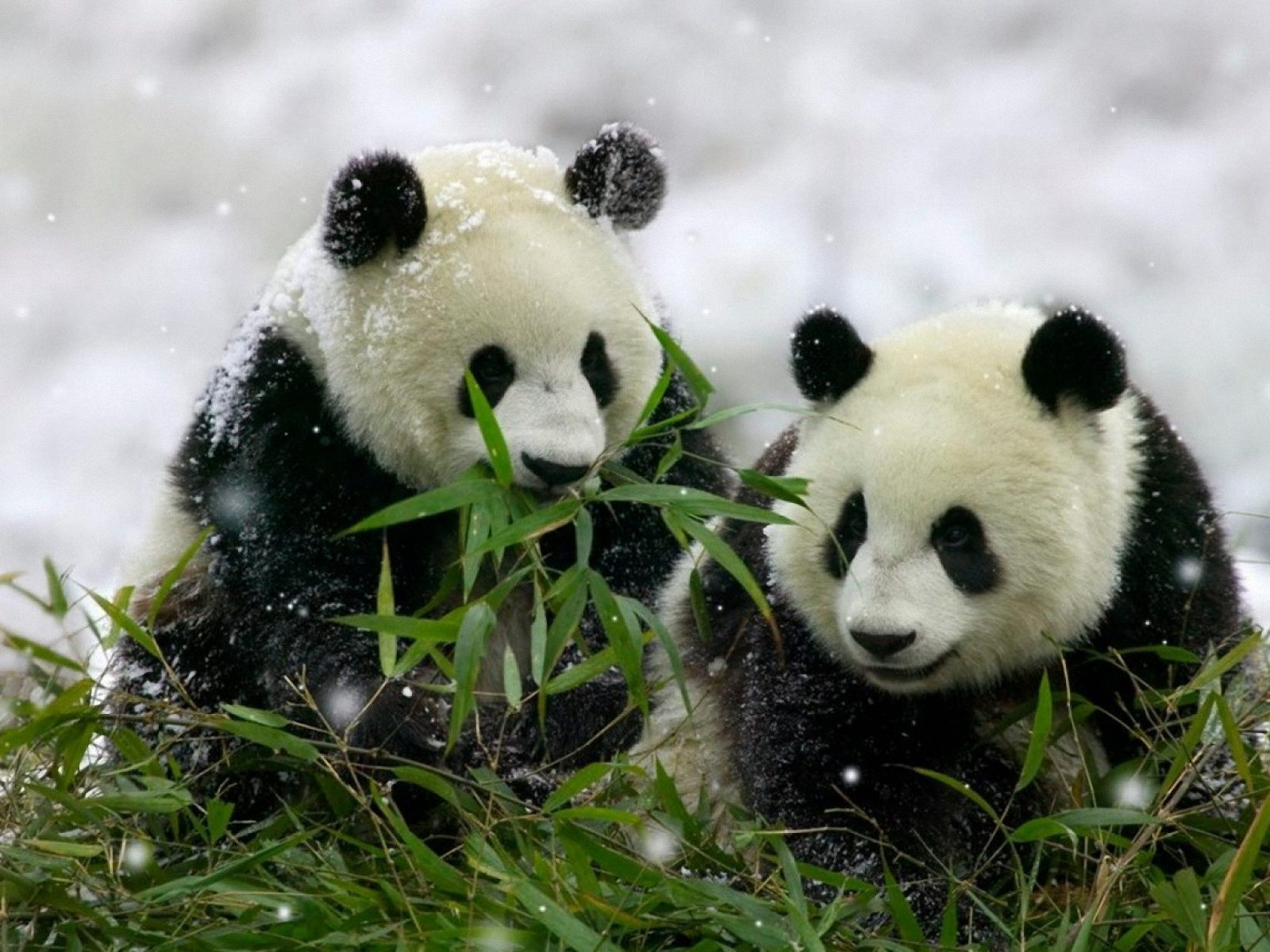 Bamboo Wallpaper Bamboo Wallpapers 10 20 Panda In Bamboo