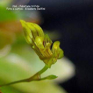 Specklinia pristeoglossa do blogdabeteorquideas