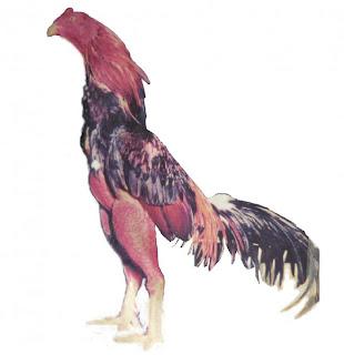Jual Ayam Bangkok Import