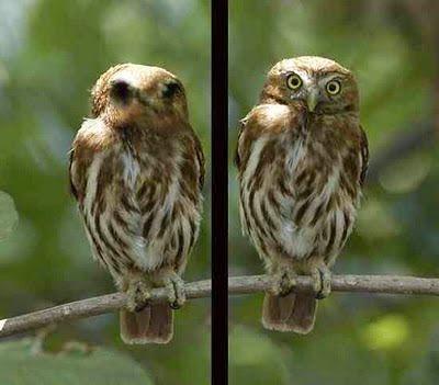 Foto Burung Hantu Terbaik