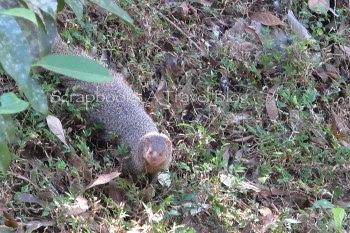 Mongoose at Dandeli Wildlife Sanctuary