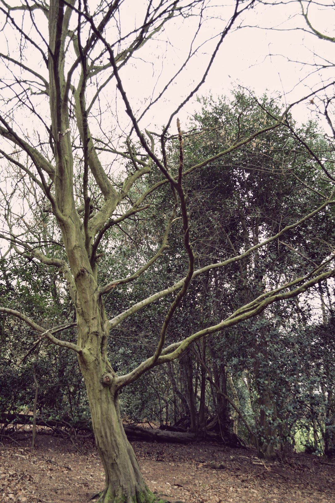 photograph, walk, Chelmsford, public footpath, Essex, wood, woodland, trees, winter, branches, route, badger, bluebells, pictures,