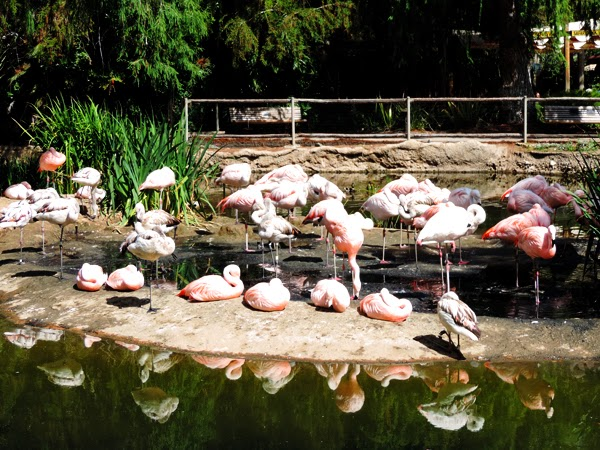 The San Diego Safari Park's Flamingo Lagoon is striking but oh so smelly! — at San Diego Safari Park. aka Wild Animal Park.