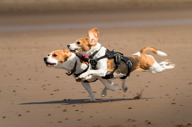 How fast can a Beagle run?