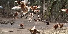 Flying Chickens !
