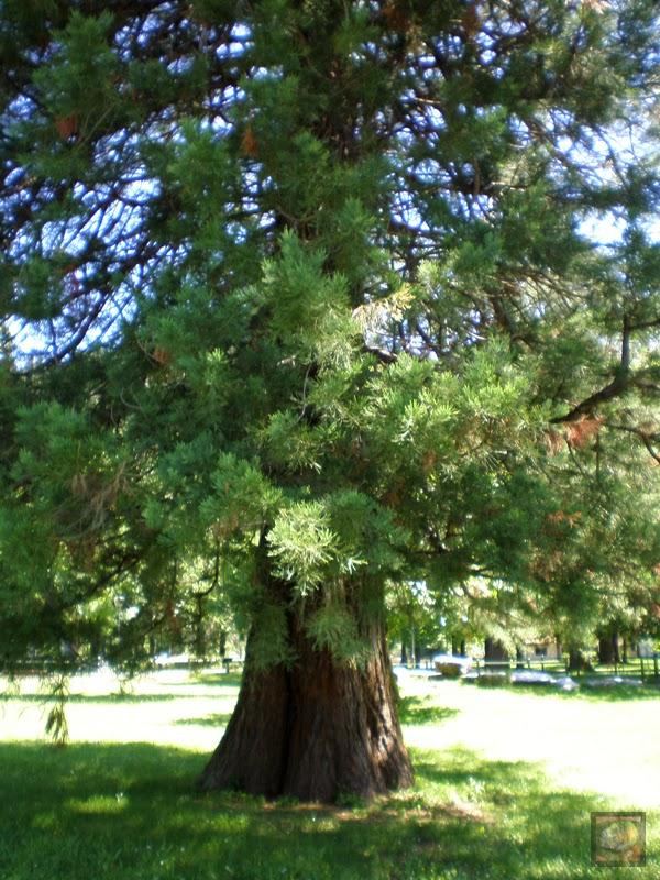 Secuoaya del parque Arenatzarte en Güeñes (Bizkaia)