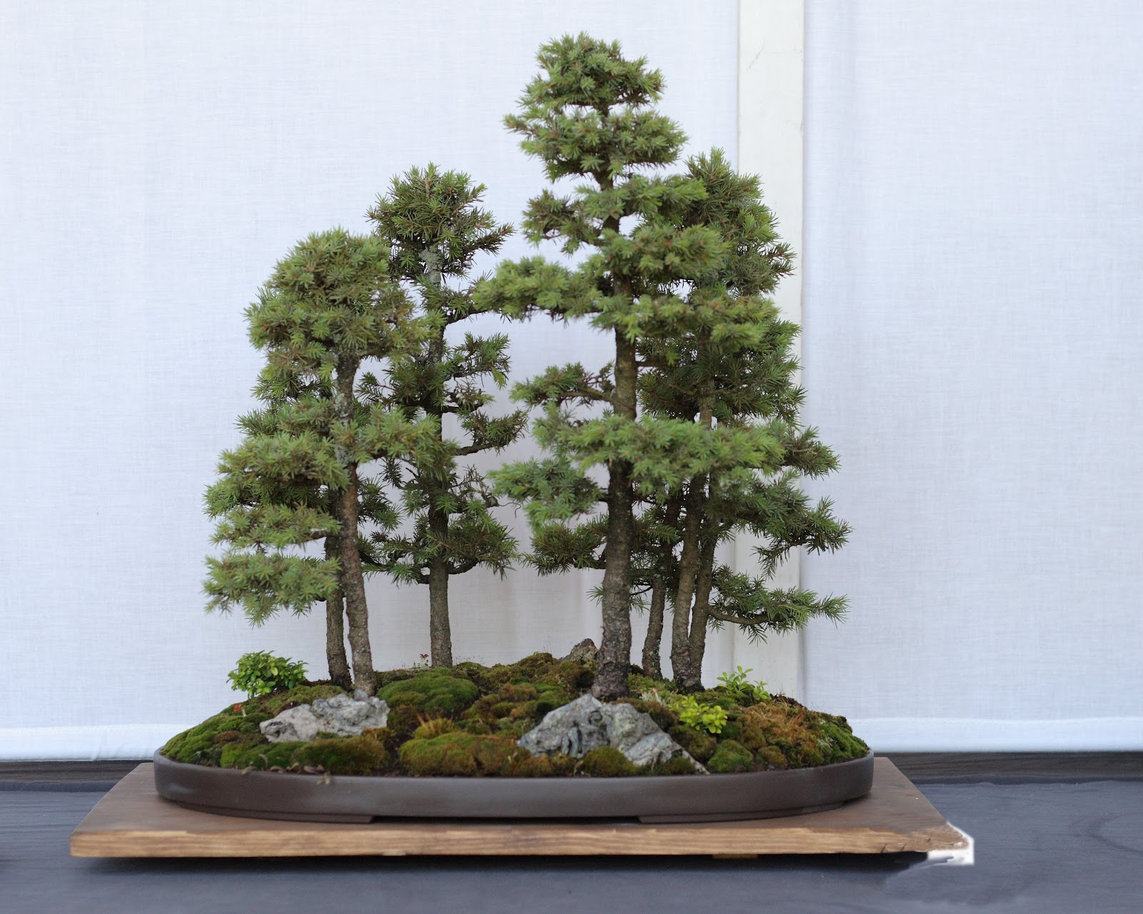Huge Bonsai Collection