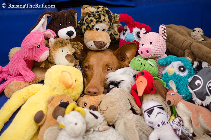one of these things is not like the others, pharaoh hound among the stuffed animals