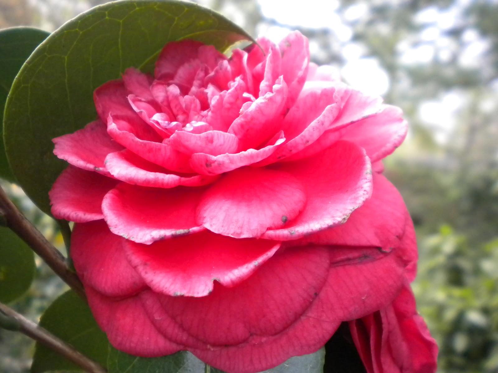 TIPOS DE ROSAS Clasificación de rosas o rosales - Imagenes De Diferentes Tipos De Rosas