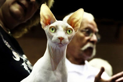 skinny hairless cat
